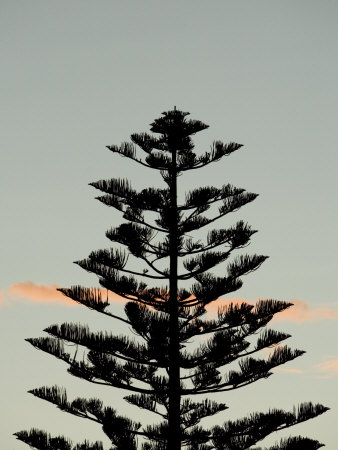 clipart tree silhouette. Pine Tree Silhouette Clip Art.