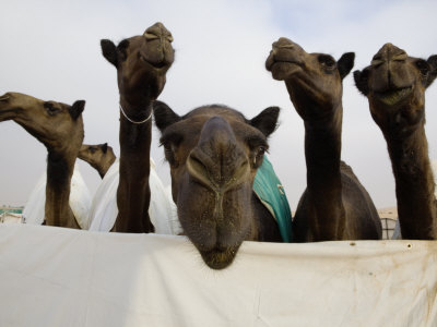 Camels are Kept Clean in Preparation for the Camel Beauty Contest Photographic Print by Randy Olson