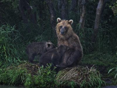 Brown Bear Breast-Feeding Her Cubs at Kurilskoye Lake Preserve Photographic Print by Randy Olson