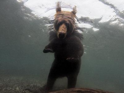 Brown Bear Fishing for Salmon in Kuril Lake Photographic Print by Randy Olson