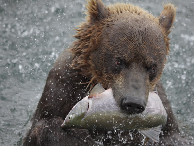 Brown Bear Catches a Pink Salmon Fish in Kuril Lake Photographic Print by Randy Olson