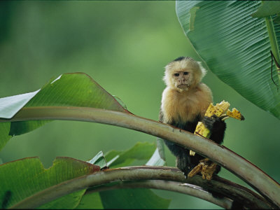 White-Throated Capuchin Monkey, Cebus Capucinus, Eating a Banana Photographic Print by Roy Toft
