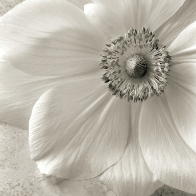 Poppy Study II Prints by Sondra Wampler