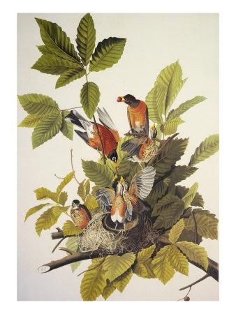American Robin Posters by John James Audubon