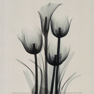 Tulips and Arum Lily Reproduction d'art