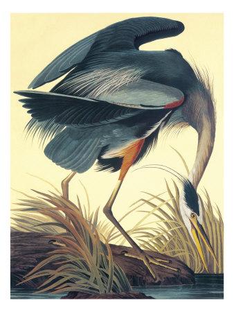 Great Blue Heron Prints by John James Audubon