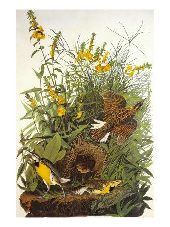 Meadow Lark Print by John James Audubon