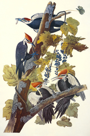 Pileated Woodpecker Giclee Print