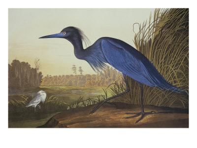 Blue Crane Or Heron Poster by John James Audubon