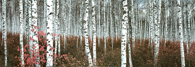 Silver Birch Forest, China Kunstdruck