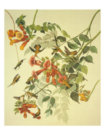 Ruby-Throated Hummingbird Giclee Print