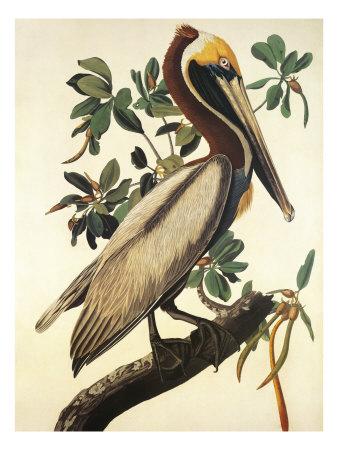 Brown Pelican Prints by John James Audubon