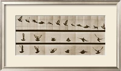 Bird Posters by Eadweard Muybridge