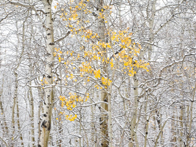 Fall Birch Photographic Print by Andrew Geiger