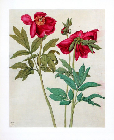 Peonies Collectable Print by Albrecht Dürer