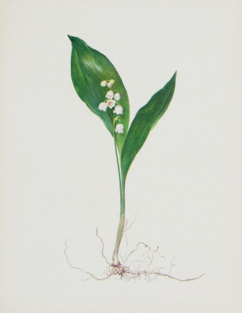 Lily of the Valley Collectable Print