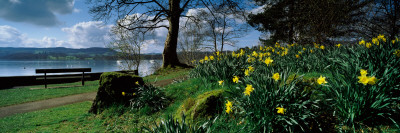 Daffodils at the Lakeside, Lake Windermere, English Lake District, Cumbria, England Photographic Print