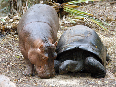 Baby Hippo Walks Along with its 'Mother', a Giant Male Aldabran Tortoise, at Mombasa Haller Park Photographic Print