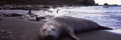 Southern Elephant Seal on the Coast, Gold Harbor, South Georgia Island Photographic Print by  Panoramic Images