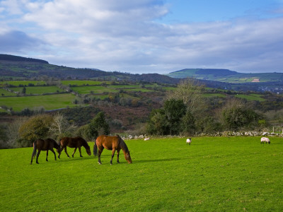 Horses and Sheep in the Barrow Valley, Near St Mullins, County Carlow, Ireland Photographic Print