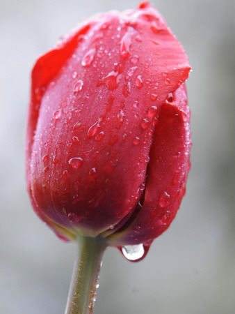 Raindrops on Tulips in Glottertal, Southern Germany Photographic Print