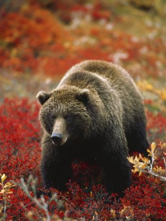 Grizzly Bear Standing Amongst Alpine Blueberries, Denali National Park, Alaska, USA Photographic Print by Hugh Rose