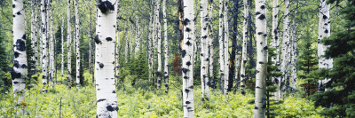 Alpine Forest of White Birch Trees, Glacier National Park, Montana, USA Photographic Print by Paul Souders