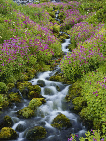 Pink Monkey Flowers Growing Along Stream, Mount Rainier National Park, Washington, USA Photographic Print