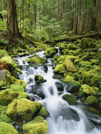 View of Creek in Old Growth Rainforest, Olympic National Park, Washington, USA Photographic Print by Stuart Westmoreland