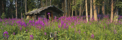 Abandoned Cabin and Fireweed, Ross River Area, Yukon, Canada Photographic Print by Paul Souders