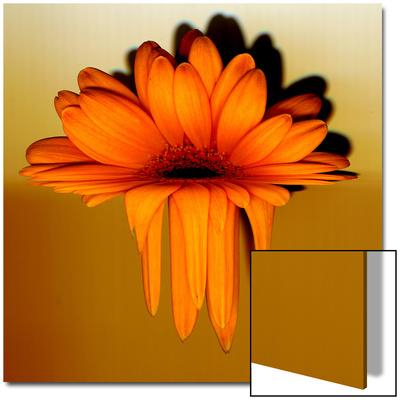 Gerbera Flower Melting, Digital Manipulation Prints by Winfred Evers