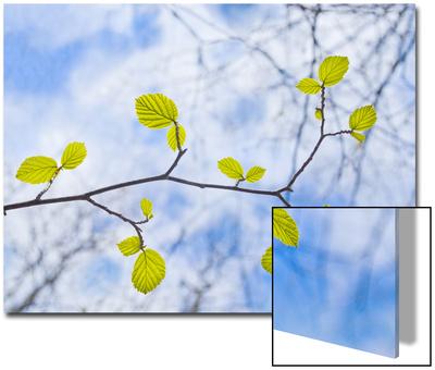 American Beech Leaves on a Branch Prints by John Churchman