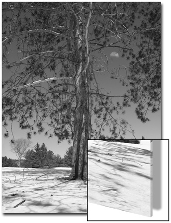Pine at Midday with Three-Quarters Moon Art by John Churchman