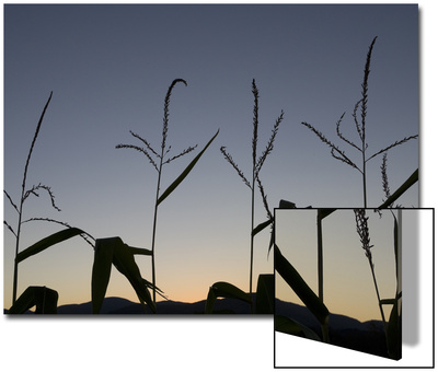 Corn Silhouetted by a Late Sunset Posters by John Churchman