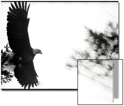 Bald Eagle in Flight by Treetop Prints by Deon Reynolds