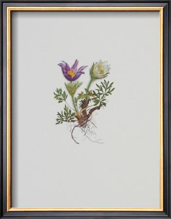 Kuhschelle Art by Moritz Michael Daffinger