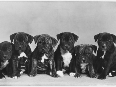 A Row of Six Puppies. Owner: Burge-Smith Photographic Print