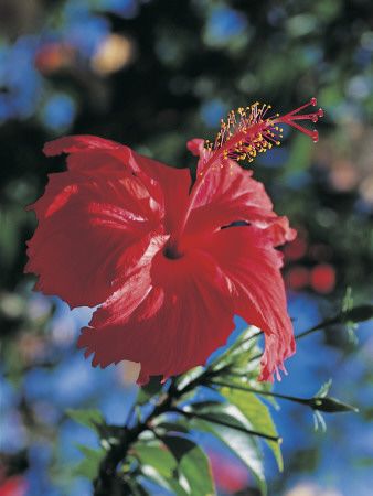 Close-Up of a Chinese Hibiscus Flower (Hibiscus Rosa-Sinensis) Photographic Print by C. Dani I. Jeske