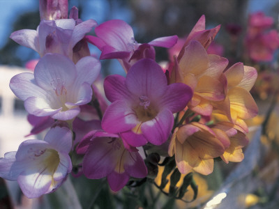 Close-Up of Freesia Flowers Photographic Print by C. Sappa