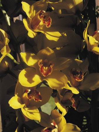Close-Up of Orchid Flowers Photographic Print by C. Sappa