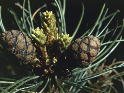Close-Up of Pine Cones on a Swiss Pine Tree (Pinus Cembra) Photographic Print by C. Sappa