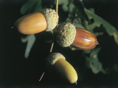 Close-Up of the Acorns on an Oak Tree (Quercus Robur) Photographic Print by C. Sappa