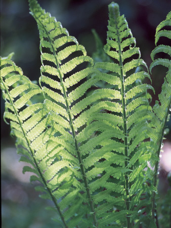 Close-Up of Leaves of a Wood Fern Plant (Dryopteris Expansa) Photographic Print by C. Sappa
