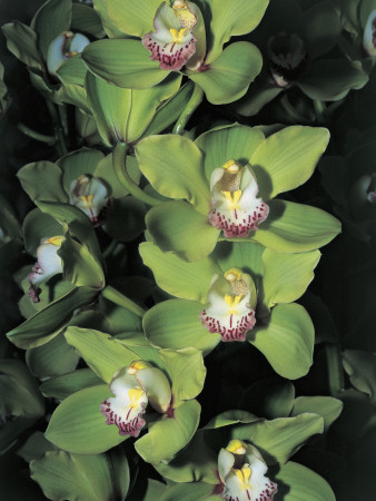 Flowers on a Cymbidium Plant Photographic Print by C. Sappa
