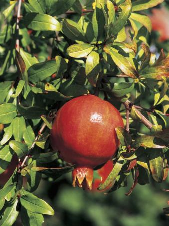Close-Up of a Pomegranate on a Tree (Punica Granatum) Fotografie-Druck von P. Visintini