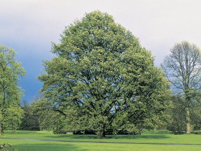 Chestnut-Leaved Oak Tree on a Landscape (Quercus Castaneifolia) Photographic Print by C. Sappa