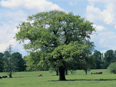 Oak Tree on a Landscape (Quercus) Photographic Print by C. Sappa
