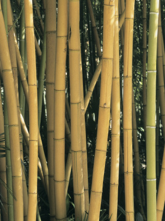 Close-Up of Bamboo in the Forest (Phyllostachys Sulphurea) Photographic Print by C. Sappa