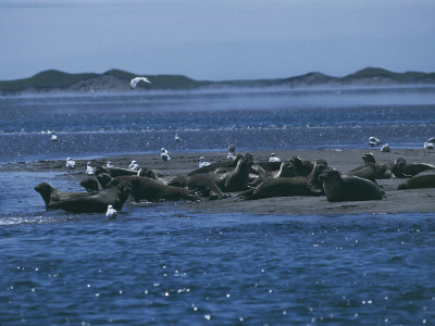 Group of Seals on the Beach, Miquelon Island, Saint Pierre and Miquelon Photographic Print by C. Sappa