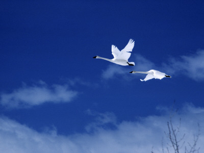 Pair of Trumpeter Swans (Cygnus Cygnus Buccinator) in Flight Against a Blue Sky, Usa Photographic Print by Jeff Foott